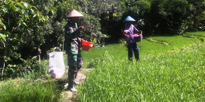 Optimalkan Hasil Panen Petani Babinsa Koramil Pancur Dampingi petani lakukan pemupukan Padi