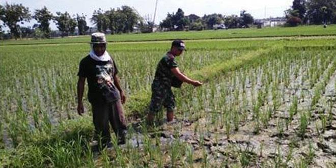 Babinsa Sambungmacan Dampingi Petani Laksanakan Pemupukan Seimbang