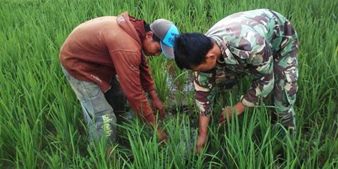 Babinsa Membantu Membersihkan Atau Mencabuti Gulma Rumput Bersama Petani di Sawah