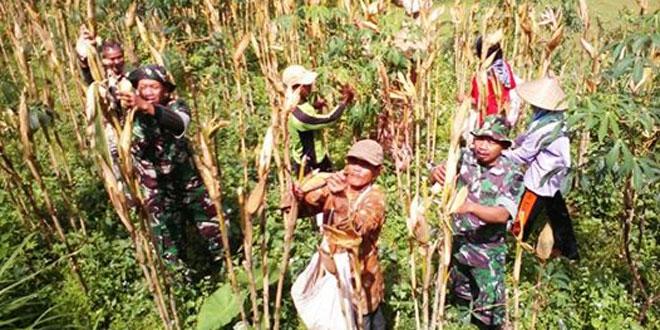 Panen Jagung Hibrida Bisi 222 Dengan Kelompok Tani Desa Donorojo Kec. Tretep