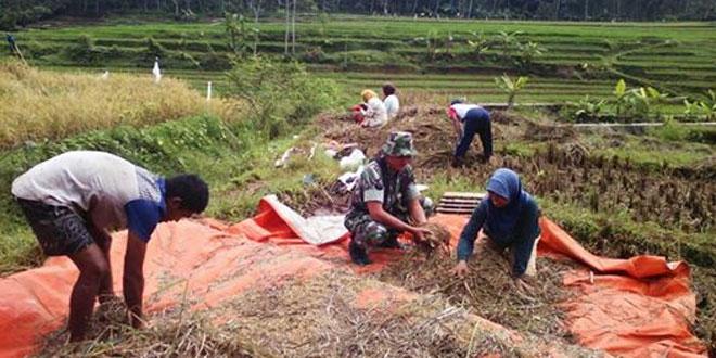 Babinsa Koramil 05/Candiroto Dampingi Panen Untuk Kejar Target Serbu Sergap