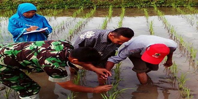 Babinsa Koramil 03/Parakan Teliti Tanaman Padi Sawah Percontohan