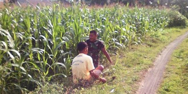 Babinsa Umbulmartani Aktif Pantau Tanaman Jagung Wilayah Binaan