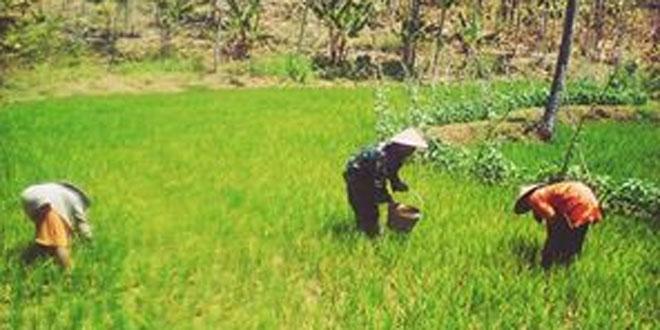 Cegah Gagal Panen di Wilayah Babinsa Sedan lakukan Penyiangan Hama Penyakit