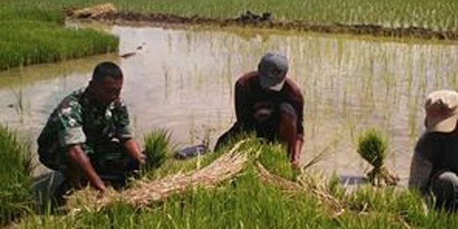 Peranan TNI Dalam Pemanfaatan Lahan dan Usaha Peningkatan Pendapatan Petani