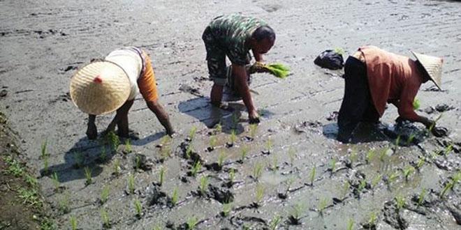 Babinsa Bantu Penyiangan dan Pembersihan Gulma