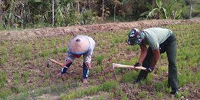 Peran Aktif Babinsa Dampingi Petani Sebagai Bentuk Motivasi dan Kepedulian