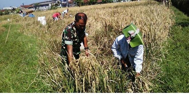Babinsa Bantu Panen Padi Di Wilayah Binaan