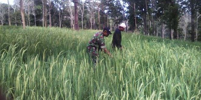 Babinsa Dampingi Petani Berikan Motivasi Mengelola Pertanian