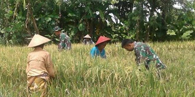 Upaya Babinsa Mlati Wujudkan Ketahanan Pangan di Desa Binaan
