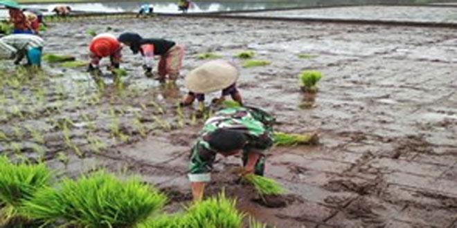 Peran Babinsa Koramil 04/Sokaraja Dibidang Pertanian