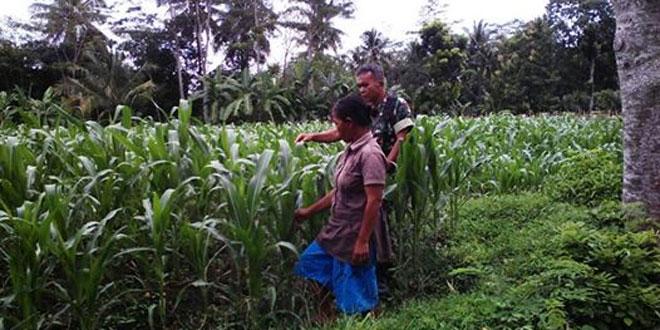 Tingkatkan Hasil Panen Babinsa Rutin Pendampingan Petani