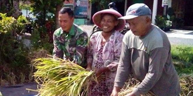 Babinsa Koramil 09/Prambanan Pendampingan Petani Panen Padi