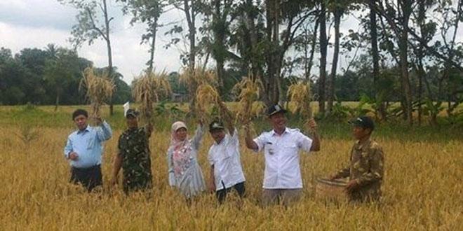 Koramil16/Godean dan Dinas Pertania Panen Raya Besama Kelompok Tani