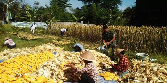 Babinsa Koramil 06/Ngaglik Pendampingan Petani Panen Jagung