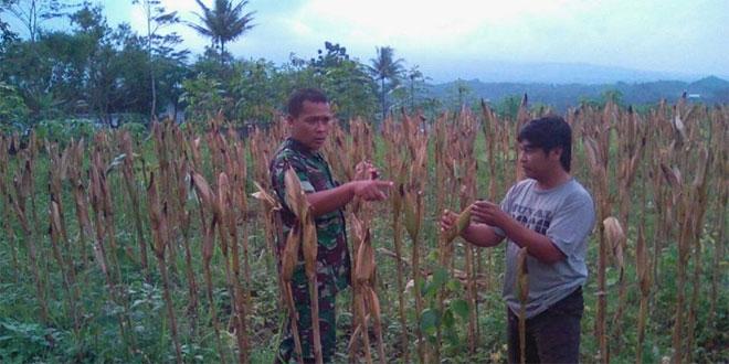 Babinsa Koramil 03/Parakan Dampingi Poktan Sumber Makmur Panen Jagung