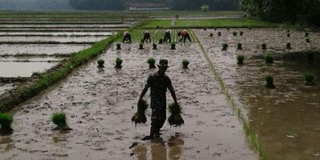 Babinsa Bumirejo Laksanakan Upsus Ketahanan Pangan