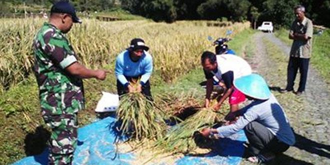 Babinsa Koramil 03/Parakan Bersama PPL Melaksanakan Pengubinan