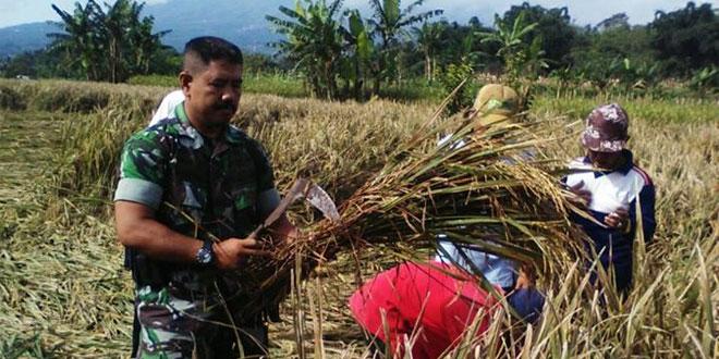 Babinsa Koramil 03/Parakan Bantu Petani Panen Lebih Awal Karena Tanaman Padi Roboh