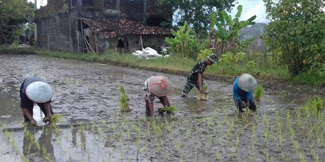 Babinsa Bersama Petani Tanam Padi Serentak Wujudkan Swasembada Pangan
