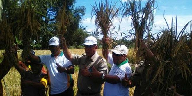 Koramil 06/Ngaglik Bersama Muspika Penen Raya di Dusun Randuagung