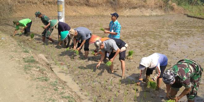 Babinsa Koramil 15/Karangpucung Dampingi Percepatan Tanam Padi Desa Surusunda
