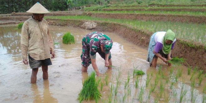 Babinsa Terjun Kesawah Membantu Petani