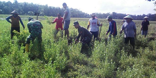 Koramil 13/Majenang Bersama Poktan Bergotong Royong Berantas Hama Tikus