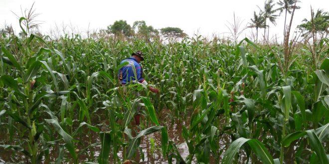 Puluhan Hektare Tanaman Jagung Di Lahan TNI AD Terendam Banjir