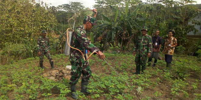 Personel Koramil 06/Kesugihan Bersama PPL Semprot Tanaman Kedelai Seluas 20 Hektare