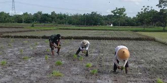 Sukseskan Swasembada Pangan, Babinsa Koramil 23/Ceper Dampingi Petani Tanam Padi