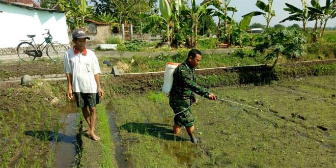 Koramil 10/Gantiwarno Babinsa Kragilan Basmi Hama Padi Dengan Alat Handsprayer Dalam Rangka Pendampingan Upsus
