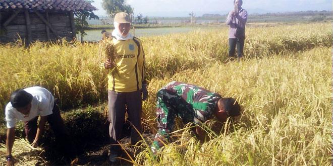 Sukseskan Swasembada Pangan, Babinsa Bantu Petani Panen Padi