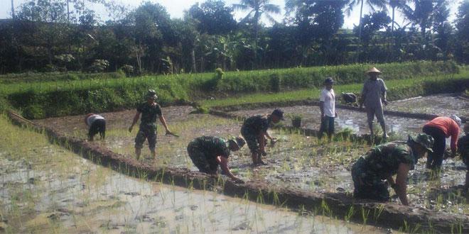 Tambah Tanam Padi Dengan Sistem Jarwo Di Desa Petirejo