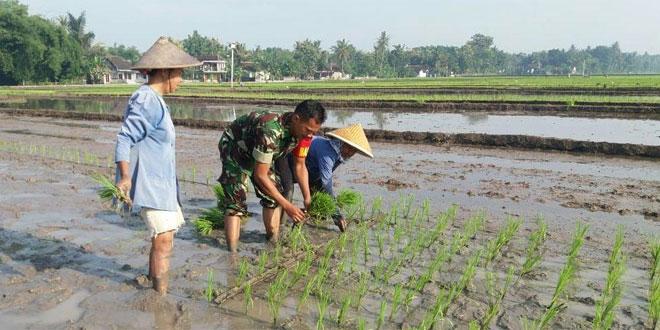 Babinsa Wijimulyo Nanggulan Kulon Progo Bantu Petani Tanam Padi