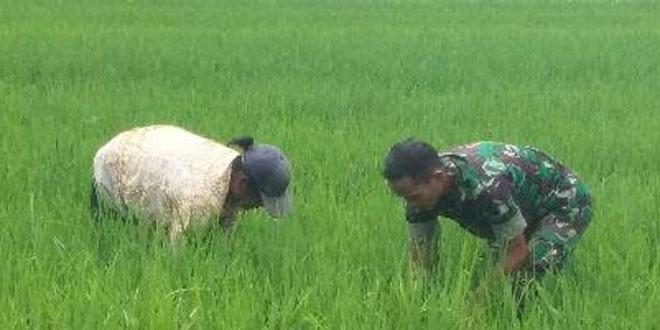 Babinsa Wahyuharjo Lendah Kulon Progo Bantu Penyiangan Tanaman Padi