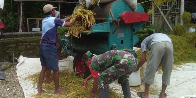 Babinsa Trucuk Bantu Petani Merontokkan Padi Dengan Mesin