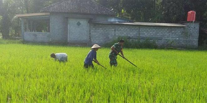 Babinsa Donomulyo Nanggulan Kulon Progo Bantu Penyiangan Tanaman Padi