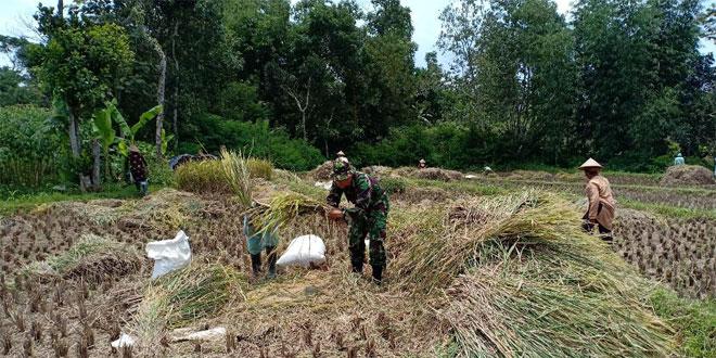 Membaur Petani Babinsa Serda Anwardani Bantu Panen Padi