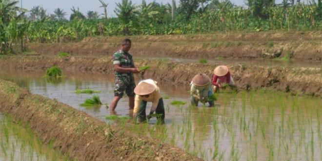Tetap Semangat Babinsa Membaur Petani Pendampingan Tanam Padi