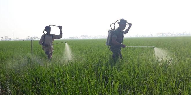 Pasokan Air Berkurang, Demplot Ciherang Koramil 08/Bojong Masih Tumbuh Subur