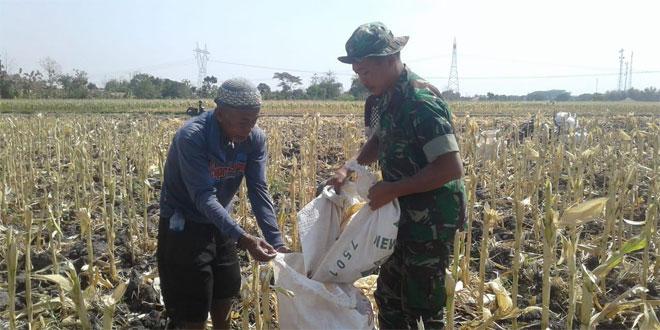 Jagung Sangat Membantu Petani Dalam Mencukupi Kebutuhanya