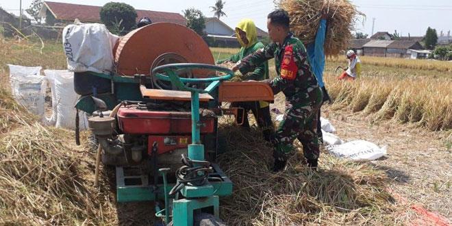 Babinsa Koramil 03/Kasihan Dampingi Panen Padi Poktan Di Wilayah Binaan