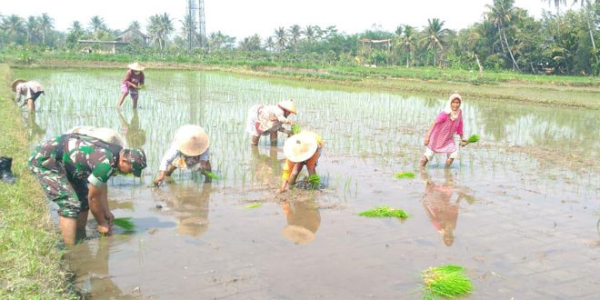 Bantu Percepat Masa Tanam Padi Babinsa Aktif Dampingi Petani