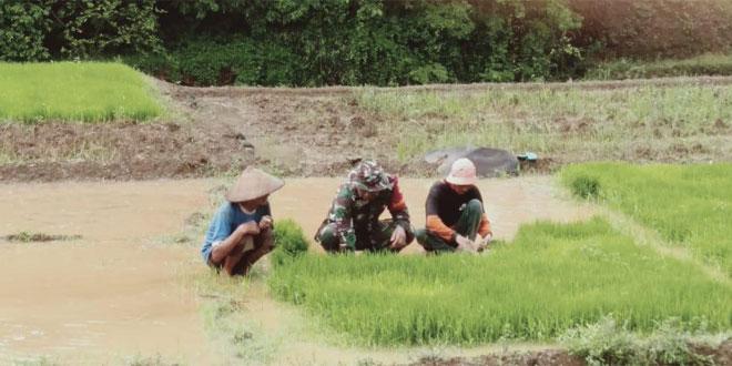 Wujudkan Ketahanan Pangan Babinsa Dampingi Petani Tanam Padi